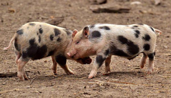 piglet, small pigs, mini