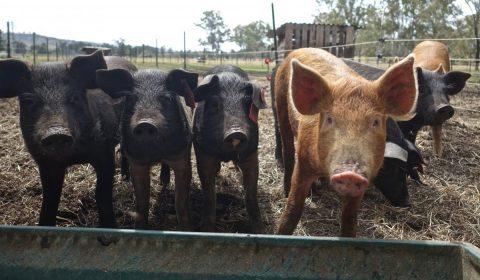 pigs, hogs, animals