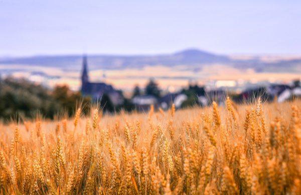 landscape, nature, cornfield