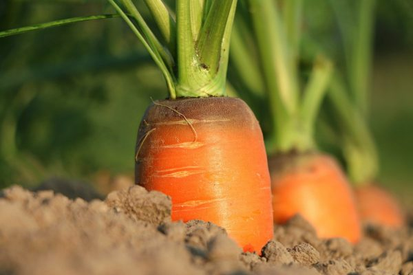 carrot, growth, vegetables