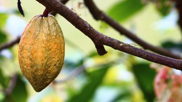 cocoa, cultivation, fruit