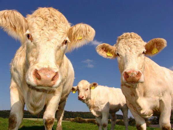 cows, curious, cattle