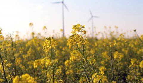 field of rapeseeds, rapeseed flowers, plant