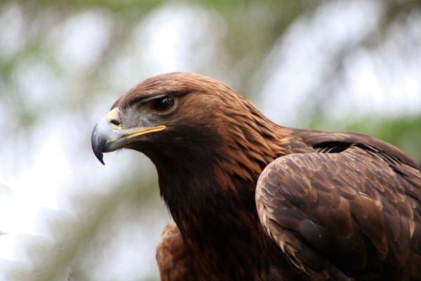 golden eagle, eagle, golden