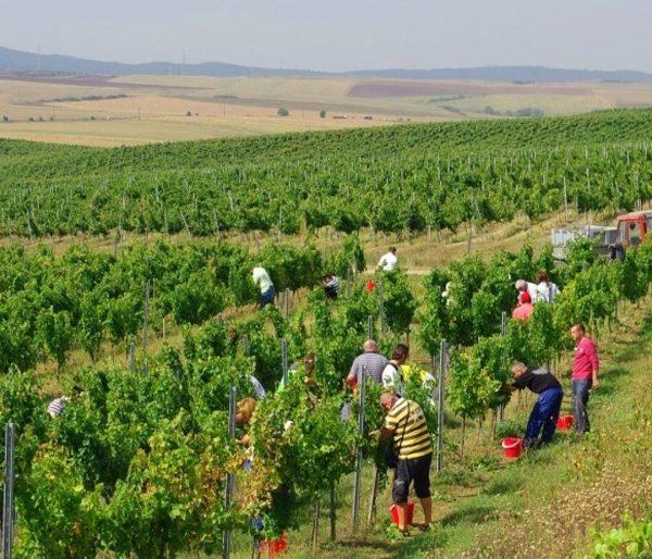 Viticultori Vrancea