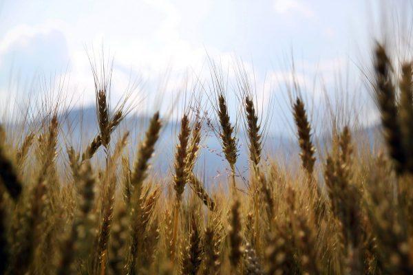 wheat, fields, crops