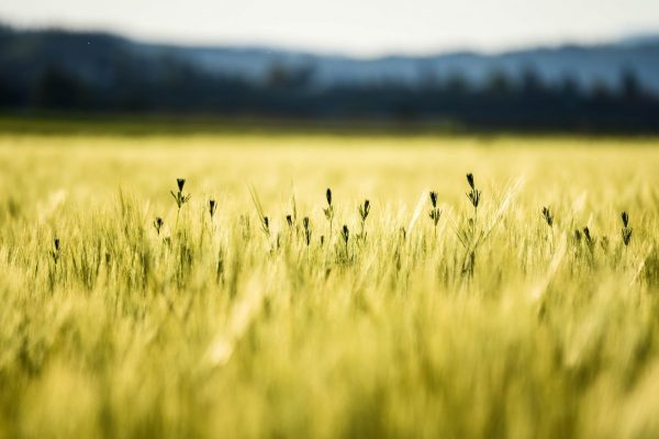 cornfield, summer, wheat