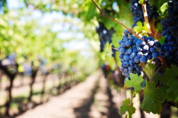 grapes, vines, grapevines