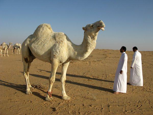 saudi arabia, desert, camel