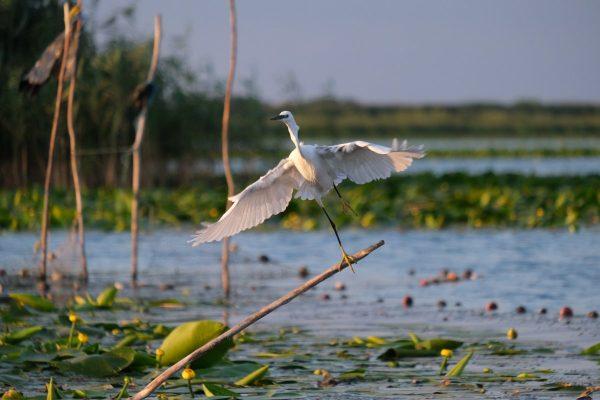 little egret, birdwatching, danube delta