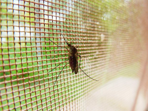 mosquito, bug, insect