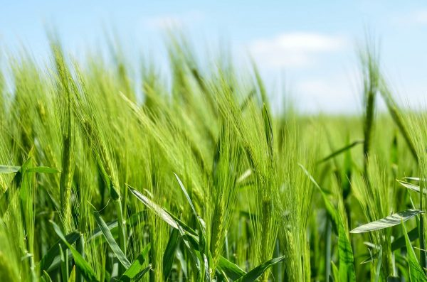 barley, cereal, grains