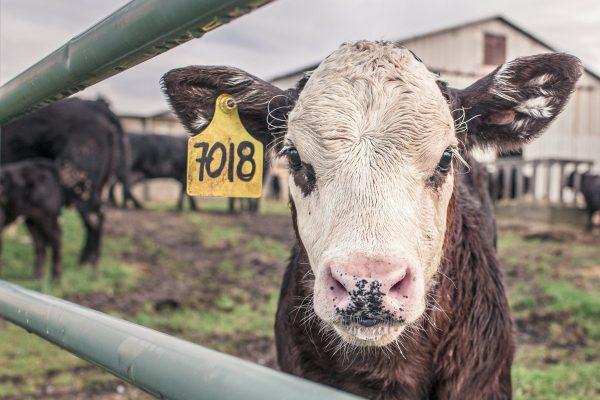 calf, cow, farm animal