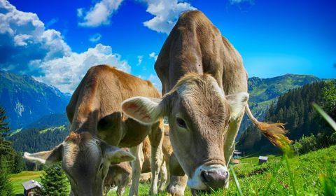 cows, cattle, farm