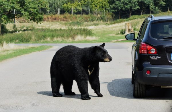 bear, beautiful, animal