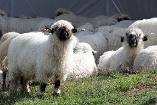 black nose sheep, sheep, flock of sheep