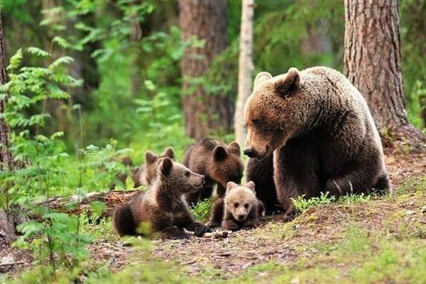 Ursi Carpatini
