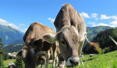 cows, cattle, grazing
