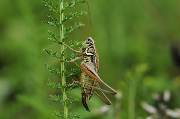 cricket, insect, macro