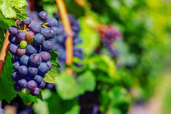 grapes, fruit, blue