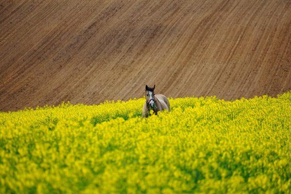 horse, field of rapeseeds, field