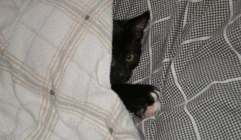 kitten, duvet, cat