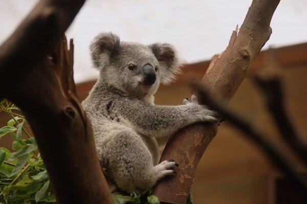 koala, mammals, wildlife