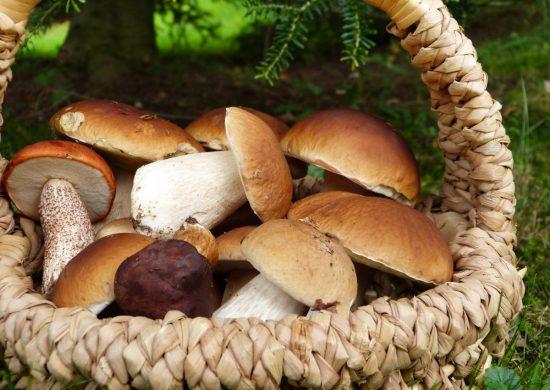 mushrooms, boletus, maroni