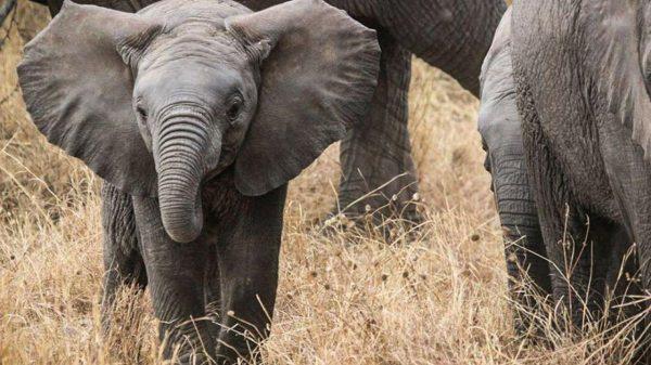 1 Elefant Fildes Evolutie Descopera Pixabay