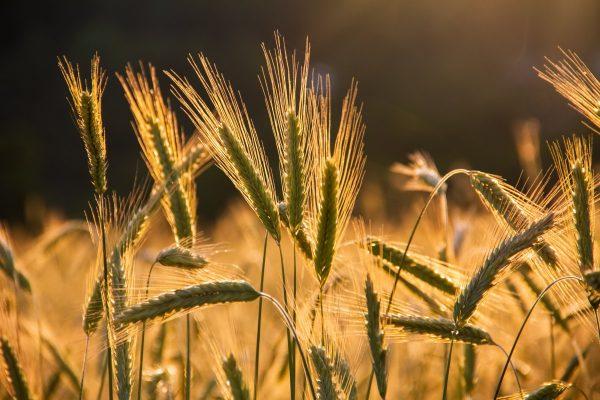 wheats, grains, wheat field